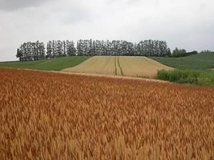 美瑛 赤麦の丘からマイルドセブンの丘を望む 05'7