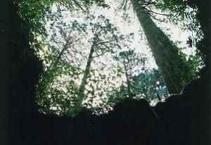 屋久島 ウィルソン株 98'8